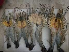 Lobster Fry